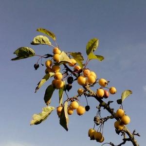 Longwood Crab Apples