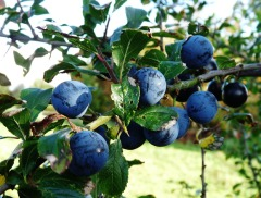 sloes-11-10-09